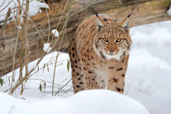 Lynx. Young lynx in winter forest royalty free stock photography