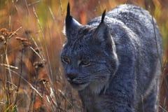 Lynx on Yukon royalty free stock photo