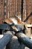 Lynx in zoo. Single adult lynx laying relaxed on a piece of wood in zoo Royalty Free Stock Images