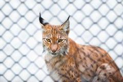 Lynx in zoo che vi esamina Immagini Stock