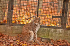 LYNX - ZOO - HUNGARY Stock Image