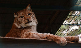 Lynx in zoo looks at camera out of the cage. Portrait of an eurasian lynx. Lynx in zoo looks at camera out of the cage. Bobcat. Wild animals in the zoo. Wildlife Royalty Free Stock Photography
