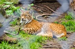 Lynx in the zoo Royalty Free Stock Photo