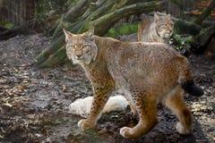 Lynxes με το θήραμα Στοκ εικόνα με δικαίωμα ελεύθερης χρήσης