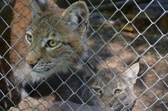 Lynxes in the aviary Royalty Free Stock Photo