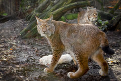 Lynxes with prey Royalty Free Stock Image