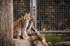 Lynxes Royalty Free Stock Image