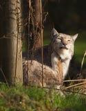 Lynxkat met een jeuk Royalty-vrije Stock Fotografie
