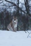 Lynxkat in sneeuw de winterscène, Noorwegen Stock Afbeelding