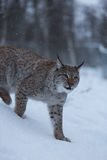 Lynxkat in sneeuw de winterscène, Noorwegen Stock Foto
