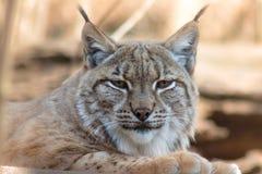 Lynxlynx - mammalia royalty-vrije stock foto