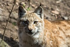 Lynxlynx - mammalia stock foto