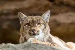 Lynxportret tijdens de herfst Stock Afbeeldingen