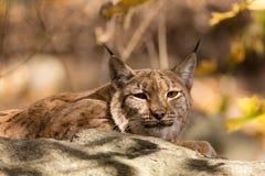Lynxportret tijdens de herfst Stock Foto's