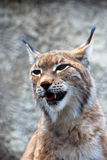 Lynxrufus bij grijze backgroung Royalty-vrije Stock Fotografie