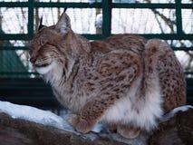 Lynxslaap bij het hout Stock Foto's