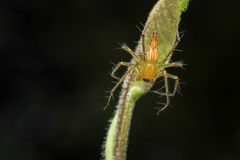 Lynxspin Stock Foto