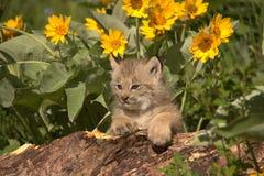 Lynxwelp stock afbeeldingen