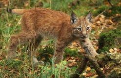 Lynxwelp Royalty-vrije Stock Afbeeldingen