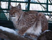 Lynxzitting bij het hout Royalty-vrije Stock Foto's