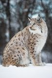 Lynxzitting in de sneeuw Stock Afbeeldingen