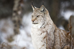 Lynxzitting in het de winterbos Royalty-vrije Stock Fotografie