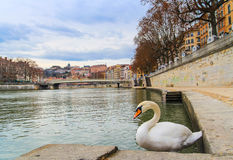 Lyon old town and the white swan Stock Photography