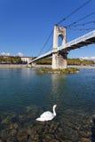 Lyon swan Stock Image