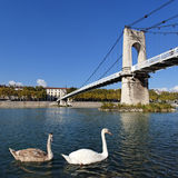 Lyon swans Royalty Free Stock Photography