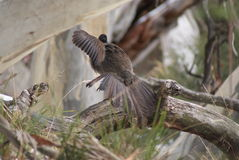 Lyre Bird. A lyrebird is either of two species of ground-dwelling Australian birds that compose the genus Menura, and the family Menuridae. They are most notable Royalty Free Stock Image