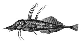 Lyre fish Stock Photography