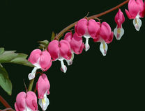 Dicentra spectabalis Flowers against Black Stock Image