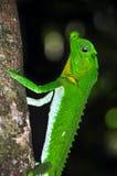 Lyre-headed lizard on the treе. Macro shooting. Lyre-headed lizard (lat.: Lyriocephalus scutatus) on the tree in Sri Lanka Stock Photo