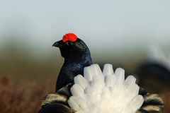 Lyre-shaped tail of black grouse. In morning light Stock Image