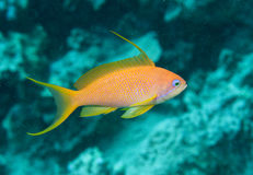 Lyre tail anthea fish Stock Image