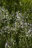 Lyreleaf Sage - Salvia lyrata. Lyreleaf Sage , Salvia lyrata, light blue wildflowers that are growing in Morgan County Alabama USA stock photo