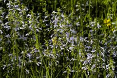 Lyreleaf Sage - Salvia lyrata. Lyreleaf Sage , Salvia lyrata, light blue wildflowers that are growing in Morgan County Alabama USA royalty free stock photography