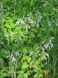 Lyreleaf Sage - Salvia lyrata. Lyreleaf Sage , Salvia lyrata, light blue wildflowers that are growing in Morgan County Alabama USA royalty free stock image