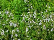 Lyreleaf Sage - Salvia lyrata. Lyreleaf Sage , Salvia lyrata, light blue wildflowers that are growing in Morgan County Alabama USA royalty free stock photo