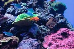 Lyretail Anthias鱼 免版税库存照片