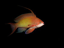 Lyretail anthias Royalty Free Stock Images