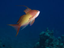 Lyretail anthias Stock Photo