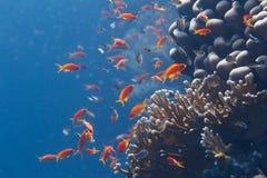 Lyretail Anthias et Chromis Arabe au-dessus du corail net du feu en Mer Rouge photographie stock libre de droits