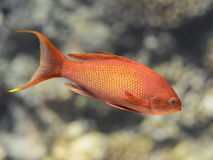 Lyretail-anthias fischen im Meerwasser, Meer-goldie Nahaufnahme lizenzfreie stockbilder