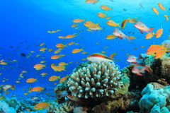 Lyretail Anthias Fish Stock Image