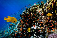 Lyretail Anthias fish on a coral reef Stock Photos
