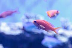 Lyretail Anthias fish known as Pseudanthias squamipinnis Royalty Free Stock Photography