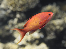 Lyretail anthias fish in sea water, sea goldie closeup macro Royalty Free Stock Photo