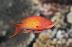 Lyretail anthias fish in water, sea goldie closeup Stock Photo