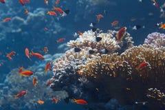 Lyretail Anthias, Half-and-Half Chromis och arab Chromis över netto brandkorall i Röda havet arkivfoton